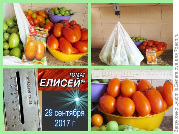 Третье и последнее взвешивание урожая томата сорта Елисей.