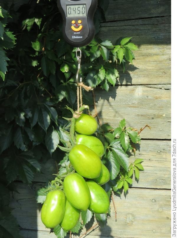 27 августа.  Третьи и четвёртые кисти в размерах плодов не уступали первой. кисти