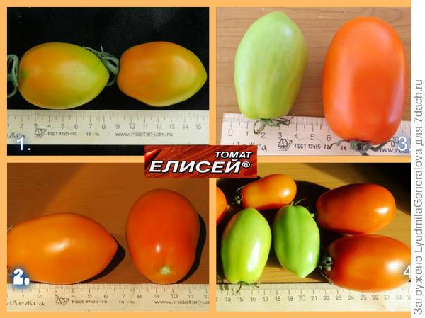 Размеры плодов томата сорта Елисей.