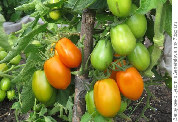 21 августа. Созревающие томаты