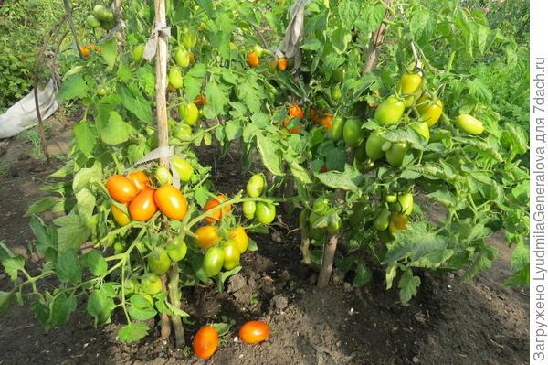 21 августа. Массмовое созревание помидоров.