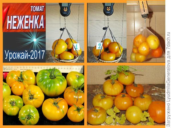 """Взвешивание урожая томата сорта """"Неженка"""""""