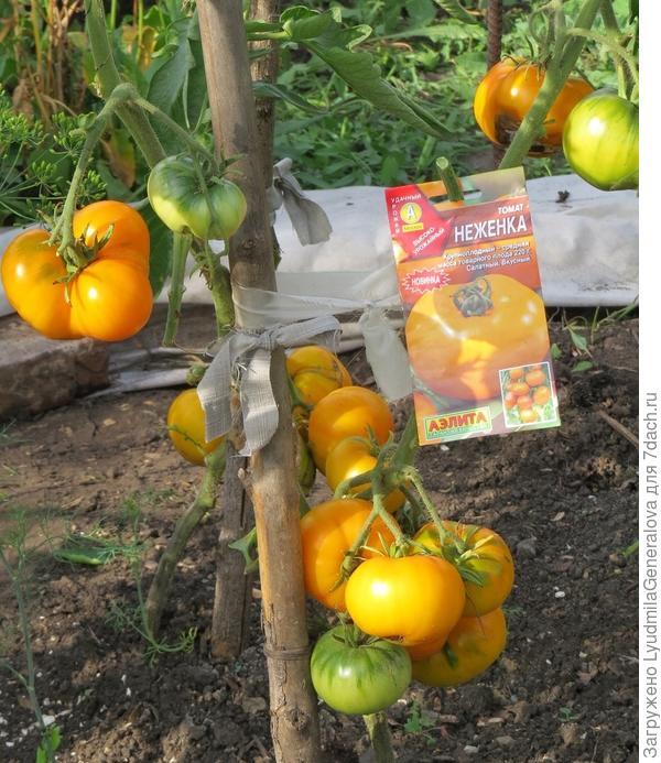 7 августа. Налив и созревание плодов томата Неженка.
