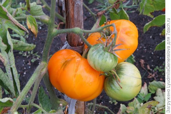 """Растрескивание плодов томата сорта """"Неженка"""""""