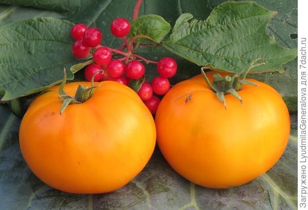 """Тестированные томаты сорта """"Неженка"""" (с нижних - первых кистей) соответствуют характеристикам  сорта."""