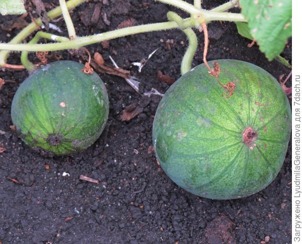 13 сент. Урожай арбуза сорта Лакомый кусочек