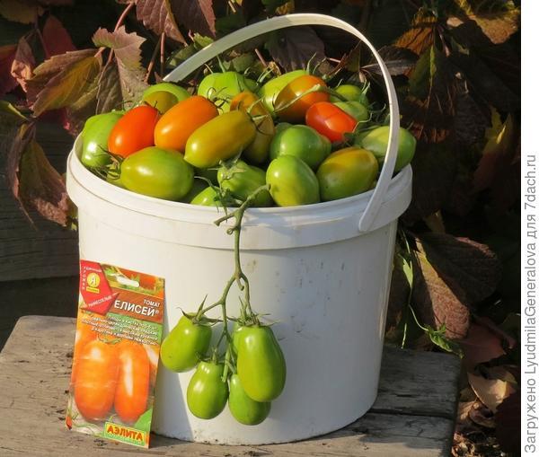 17 сентября. Уборка урожая томатов.