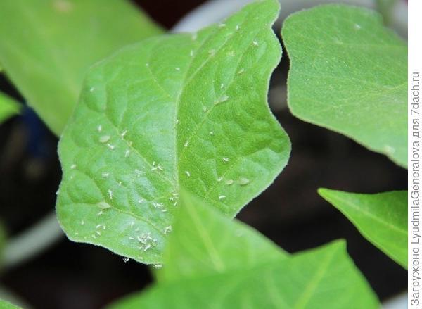 11 мая. Тля на листьях рассады баклажанов