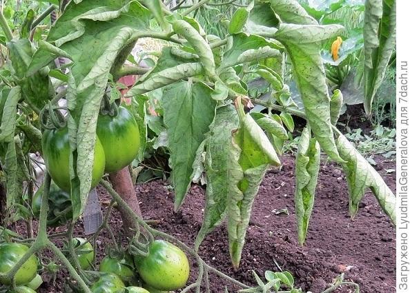 Проявление болезни листьев томата