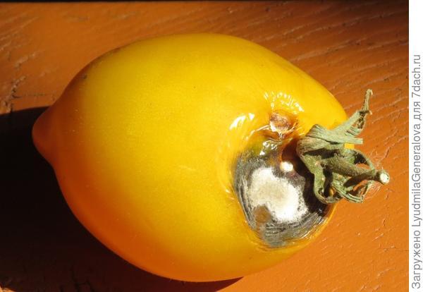 28 августа. Единственный  томат с признаками гнили.
