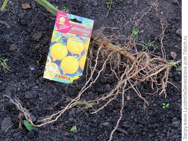 Корневая система томата  с глубоким заглублением рассады.