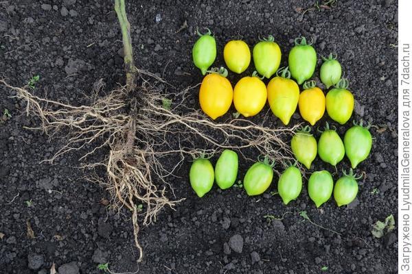 17 сентября. Уборка урожая томатов и  ботвы.