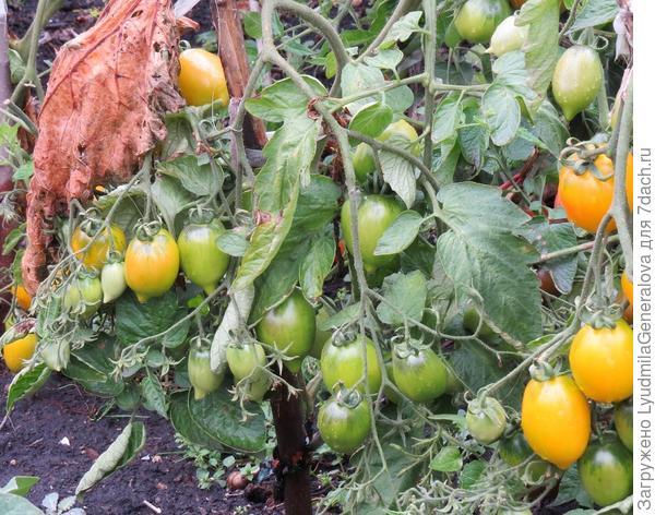 Куст томата  в открытом грунте.