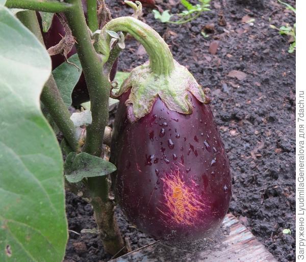 12 сентября. Повреждённый плод баклажана