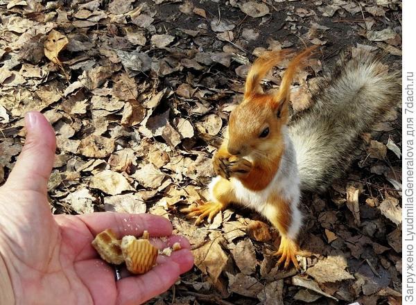 """Если орешков или семечек нет, а белочка голодная и """"просит"""",..то можно немного печенюшки"""