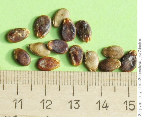 Семена из мелких арбузиков