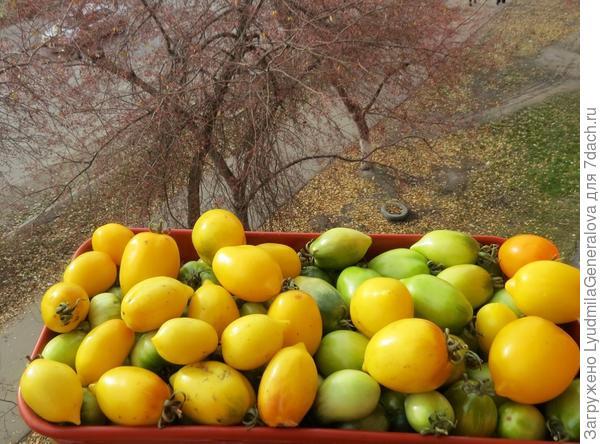 """Тестируемый сорт томата """"Цитрусовый сад"""" на хранении."""