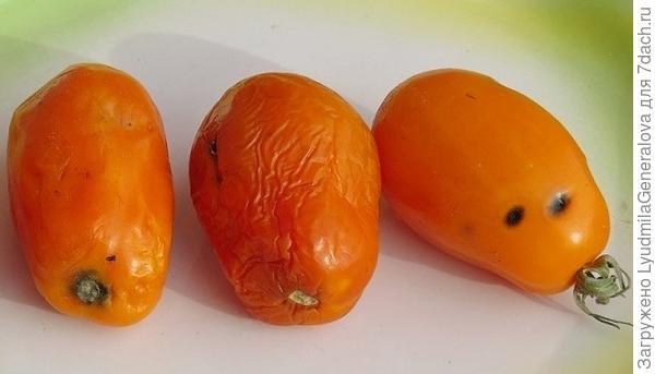 """Повреждённые плоды """"Елисея"""""""