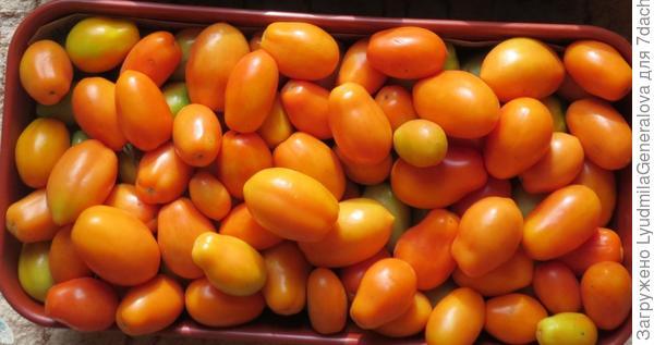 """Пошёл второй месяц хранения томата сорта """"Елисей"""""""