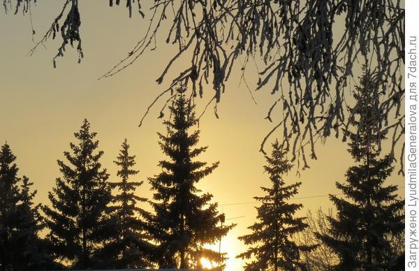 Макушки елей на закате. В полный рост в кадр не входят, строений много.