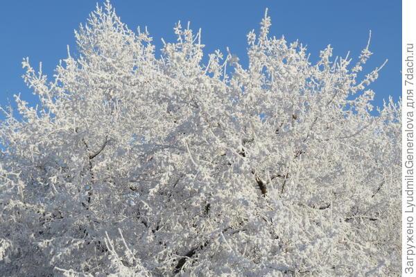 Иней такой крупнокристаллический (как летом густая листва), что и солнце не пропускает.