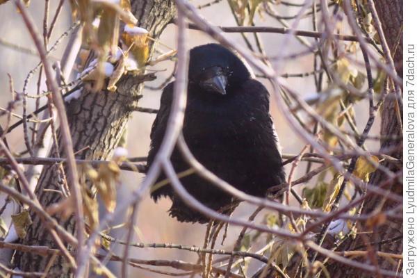 Взгляд у ворона суровый
