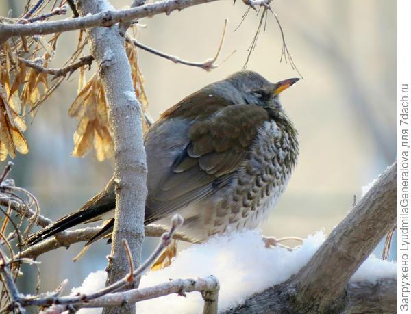 Дрозд-рябинник и глазки прикрыл, чтобы тепло сохранять! А может о весне мечтает и от этого ему теплей. Кто знает что там в его птичье головке?!