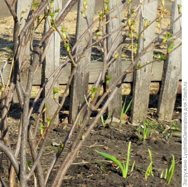 У смородины появляются листочки. Вишни, яблони... спят.