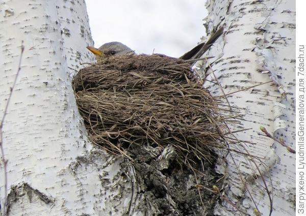 А птицы, наверное не знают, что весна опаздывает.  У них по плану - высиживание, и они не собираются нарушать графики... Вон какие аккуратные гнёздышки себе настроили. Хорошо, что глубокие! А то ветрами мамашу бы сдувало.!