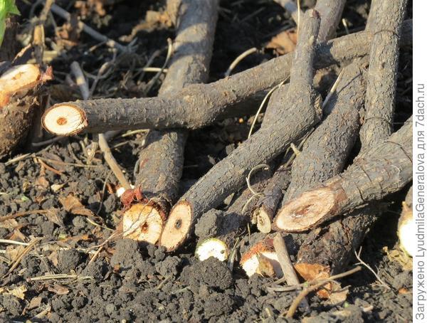 Срезанные сухие и живые ветки смородины.