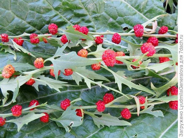 Ветки с ягодами шпината