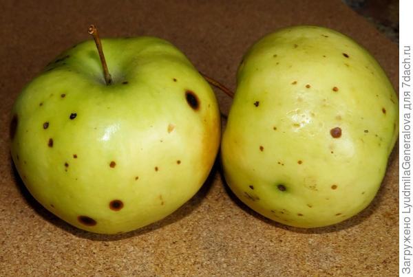 Болезнь яблок при хранении.