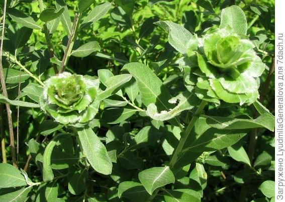 Розочки из зелёных листьев
