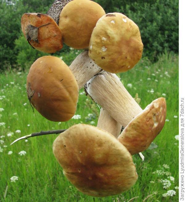Нанизать грибы на веточку для фотосессии - одно удовольствие