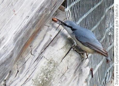 """Это поползень. Птички тоже делают запасы на зиму. Но никогда пустой орешек прятать не будут"""" . Конечно, в шишке могут и пустые орешки попадаться, их отвеивают на ветру. Но если там хоть недоразвитое ядрышко есть - обязательно найдут среди кучи пустых."""