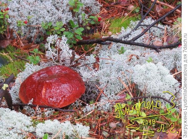 """Боровик - таёжный гриб. Красавец и богатырь. Главное во время его найти, чтобы """"другие"""" не опередили, как это часто бывает."""