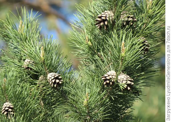 """Сосну обыкновенную и сосновые шишки видели все. Такие """"елки"""" приходят укражают наши дома в новогодние праздники."""