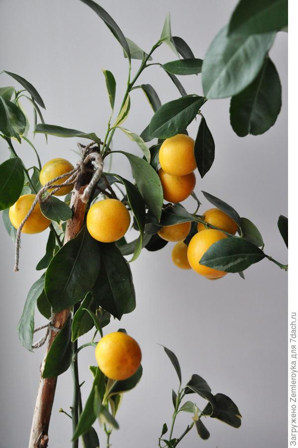 Увесистые плоды для таких хрупких веток