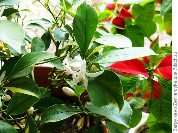 Нежные цветы каламондина