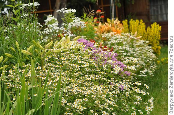 Девичья хризантема - самое неприхотливое растение в саду