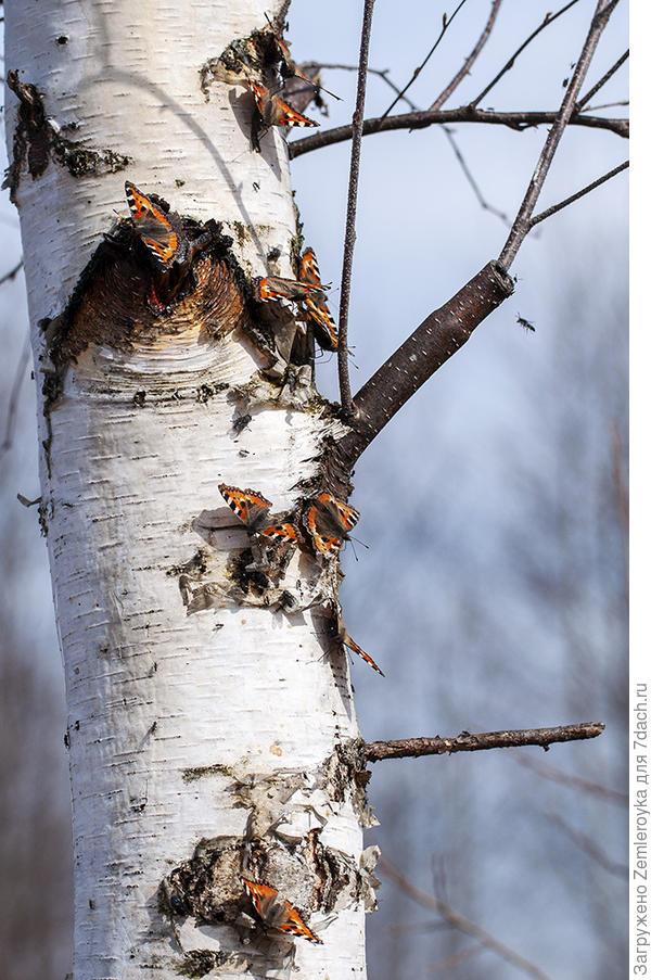 Бабочки сидят вдоль всего ствола