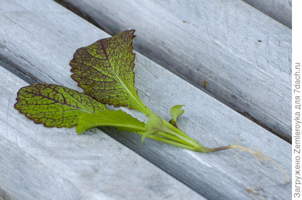 Розетка из 4 настоящих листьев