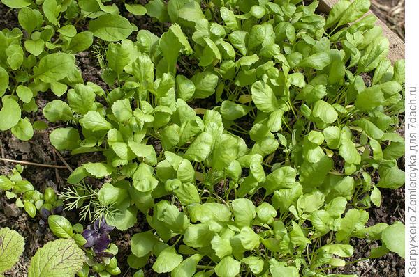 Зелень кресс-салата