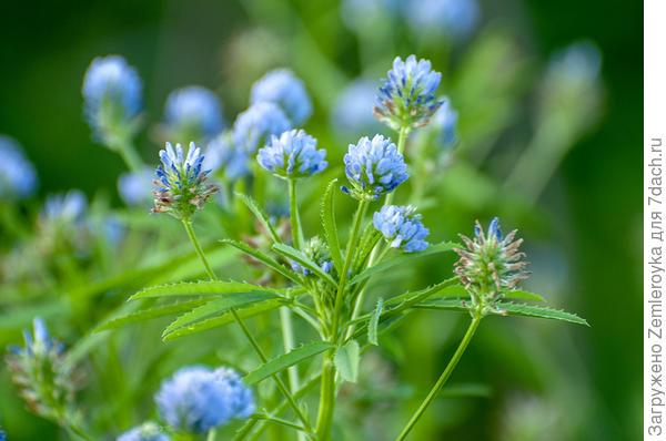 Голубые шарики цветов