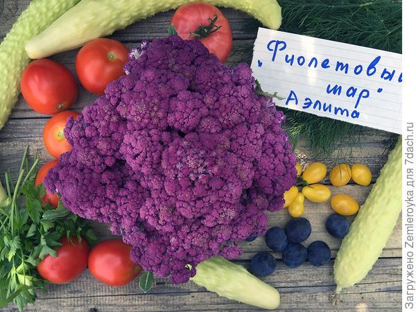 Капуста цветная 'Фиолетовый шар' F1. Рост и развитие культуры, агротехника, характеристика урожая