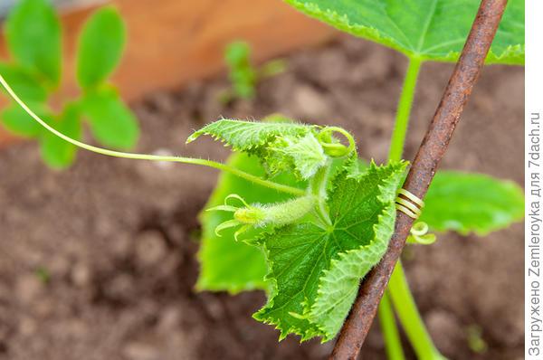 Огурец 'Белый змей' от Аэлиты F1. Рост и развитие, агротехника, урожай