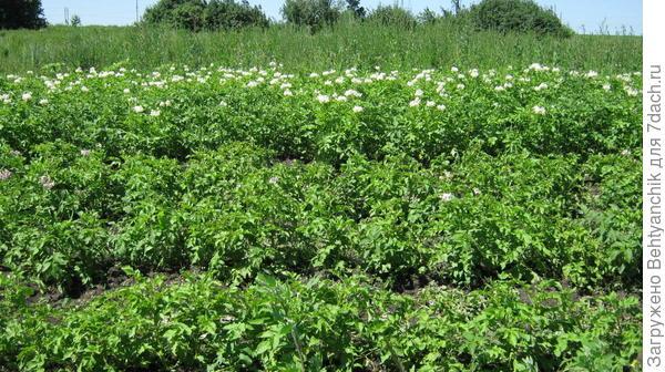 картошка на задах, за ней-необрабатываемая земля