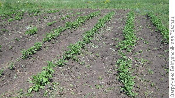 Картошечка взошла. Первые сорняки срезаны.