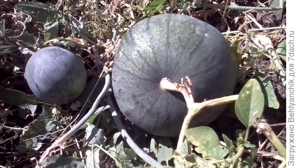 арбузики