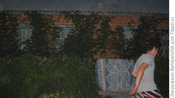 Видно, как виноград пробирается под крышу. Фото темное-вечер